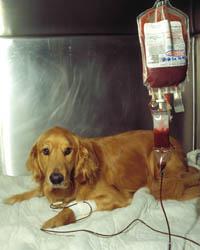 Resultado de imagen para transfusión de sangre en perros