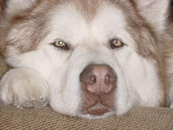Alaskan malamute rojo y blanco adulto