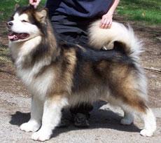 Husky pelo corto o largo