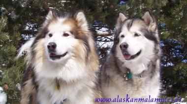 Informacin general sobre la raza Alaskan Malamute  www